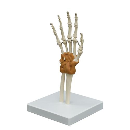 Flexible Hand Joint Model, 1019409, Joint Models