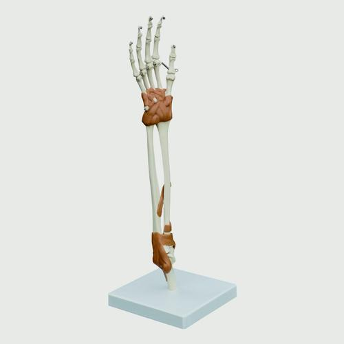 Hand & Elbow Joint Model, 1019410, Joint Models