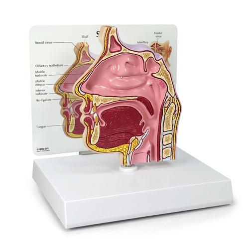Sinus cross section - 1019537 - 2850 - Anatomical Models - Anatomy ...