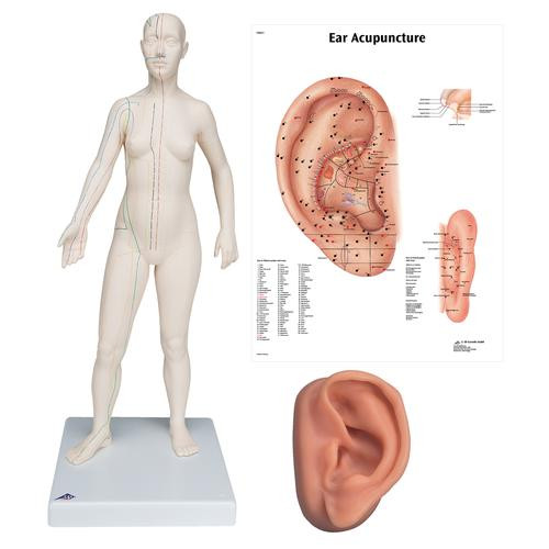 Female Acupuncture model, left ear, and ear chart, 3011932, Acupuncture Charts and Models