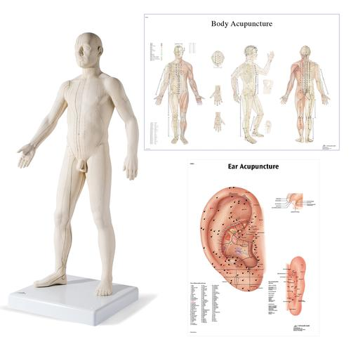 Male Acupuncture model with body and ear charts, 3011935, Acupuncture Charts and Models