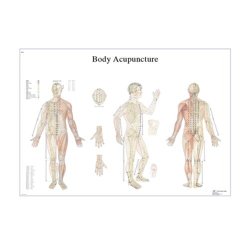 Female Acupuncture model with body and ear charts, 3011936, Acupuncture Charts and Models