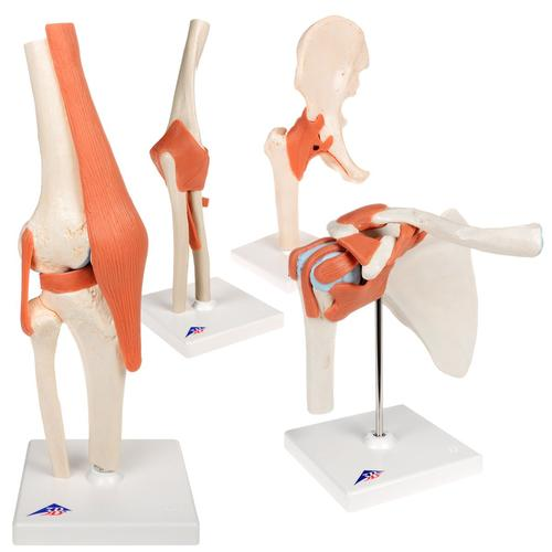Anatomy Set Joints Luxury, 8000834, Anatomy Sets