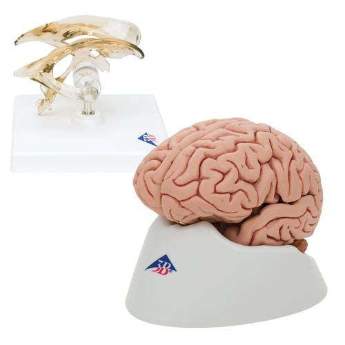 Anatomy Set Brain and Ventricle, 8000842, Anatomy Sets