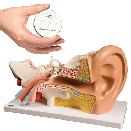 Anatomy Set Ear, 8000844, Ear Models