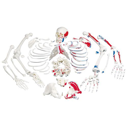 Disarticulated Full Human Skeleton, painted muscles, with 3 part skull, 1020158 [A05/2], Disarticulated Human Skeleton Models