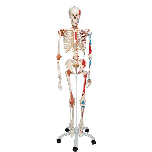A13: Skeleton Model with Muscles and Ligaments - Sam