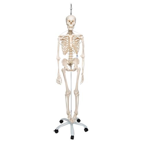 Functional & Physiological Human Skeleton Model Frank on Hanging Stand - 3B Smart Anatomy, 1020180 [A15/3S], Skeleton Models - Life size