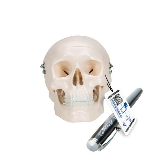 A18/15: Mini Human Skull Model, 3 part - skullcap, base of skull, mandible