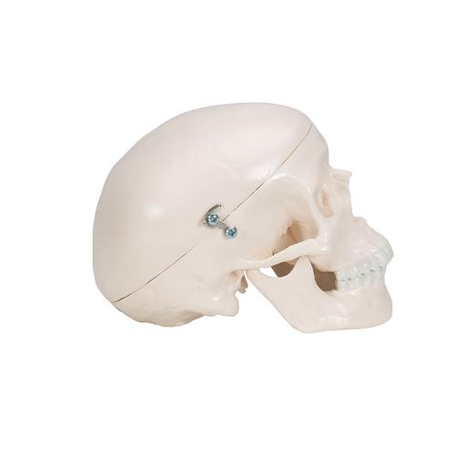 Mini Human Skull Model, 3-part (Skullcap, Base of Skull, Mandible) - 3B Smart Anatomy, 1000041 [A18/15], Human Skull Models