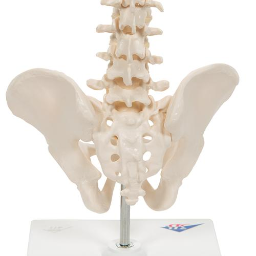 Mini Human Spinal Column Model, Flexible Mounted, on Removable Base - 3B Smart Anatomy, 1000043 [A18/21], Human Spine Models