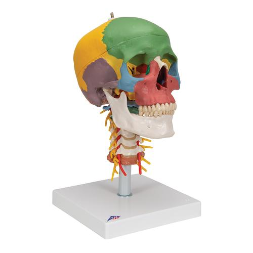 Didactic Human Skull Model on Cervical Spine, 4 part - 3B Smart Anatomy, 1020161 [A20/2], Human Skull Models