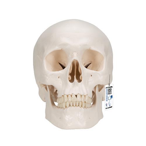 经典头颅模型,三部分 头颅 解剖学模型 3B Scientific