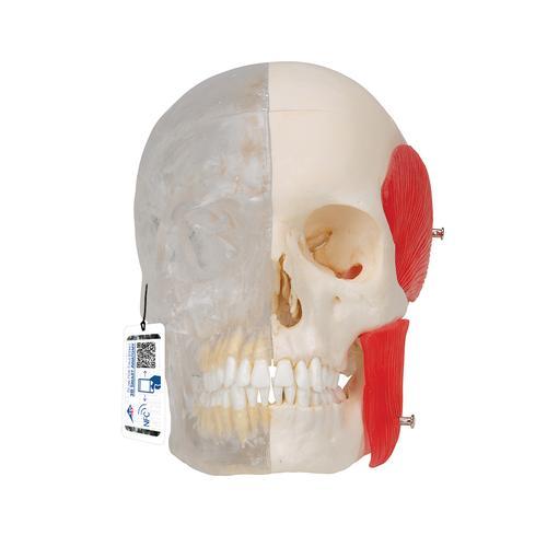 首次使最细微的解剖结构得到绝对自然的再造.由3B BONElike所制骨
