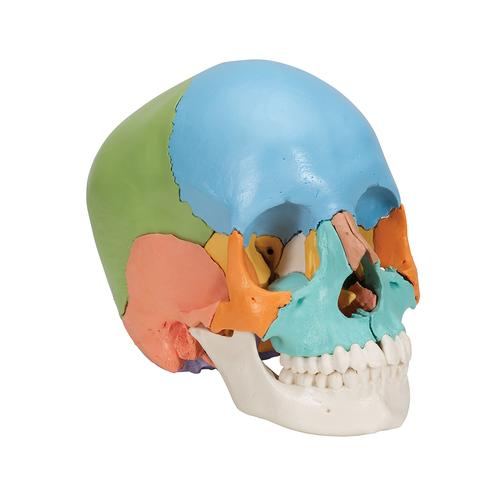 Beauchene Adult Human Skull Model, Didactic Colored Version, 22 part - 3B Smart Anatomy, 1000069 [A291], Human Skull Models