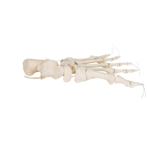 Human Foot Skeleton, Loosely Threaded on Nylon String- 3B Smart Anatomy, 1019356 [A30/2], Leg and Foot Skeleton Models