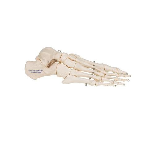 Human Foot Skeleton, Wire Mounted - 3B Smart Anatomy, 1019355 [A30], Leg and Foot Skeleton Models