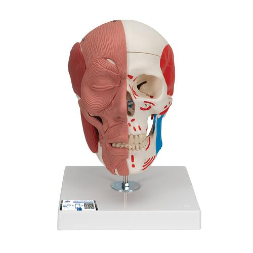 Human Skull with Facial Muscles - 3B Smart Anatomy, 1020181 [A300], Head Models
