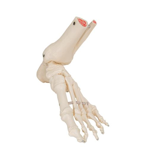 Foot & Ankle Skeleton, Elastic Mounted - 3B Smart Anatomy, 1019358 [A31/1], Leg and Foot Skeleton Models