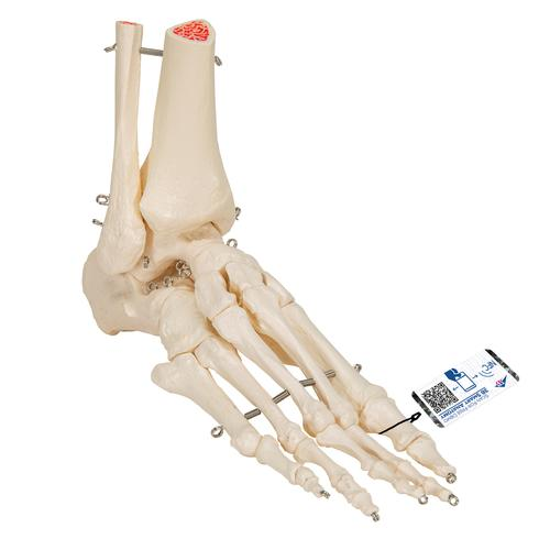 Foot and Ankle Skeleton - Leg and Foot Skeleton Models | Human Bone ...