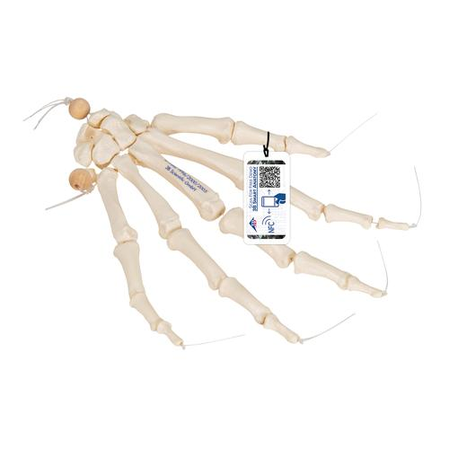 Human Hand Skeleton Model, Loosely on Nylon String - 3B Smart Anatomy, 1019368 [A40/2], Arm and Hand Skeleton Models