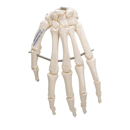 Human Hand Skeleton Model, Wire Mounted - 3B Smart Anatomy, 1019367 [A40], Arm and Hand Skeleton Models