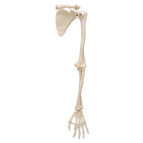 Human Arm Skeleton Model with Scapula & Clavicle - 3B Smart Anatomy, 1019377 [A46], Arm and Hand Skeleton Models