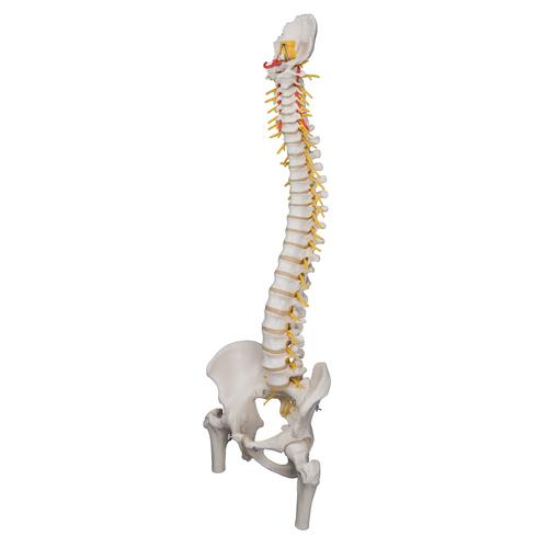 Deluxe Flexible Human Spine Model with Femur Heads & Sacral Opening - 3B Smart Anatomy, 1000126 [A58/6], Human Spine Models
