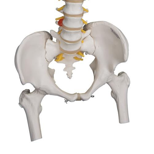 Highly Flexible Human Spine Model, Mounted on a Flexible Core, with Femur Heads - 3B Smart Anatomy, 1000131 [A59/2], Human Spine Models