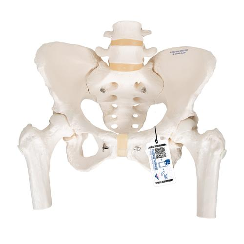 Human Pelvis Skeleton Model, Female with Movable Femur Heads - 3B Smart  Anatomy