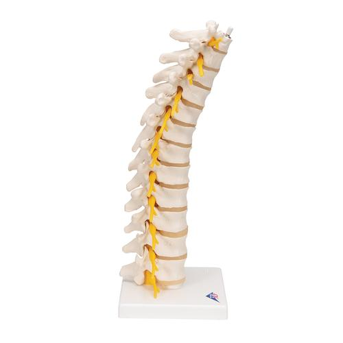 Thoracic Human Spinal Column Model - 3B Smart Anatomy, 1000145 [A73], Vertebra Models