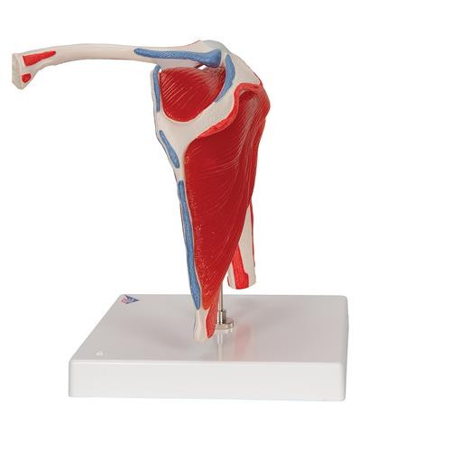 Human Shoulder Joint Model with Rotator Cuff & 4 Removable Muscles, 5 part - 3B Smart Anatomy, 1000176 [A880], Joint Models