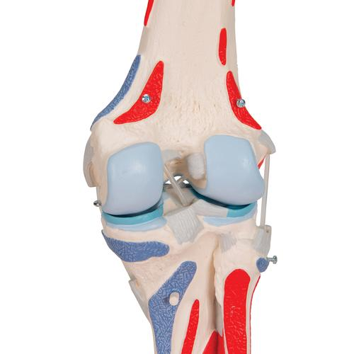 Human Knee Joint Model with Removable Muscles, 12 part - 3B Smart Anatomy, 1000178 [A882], Joint Models