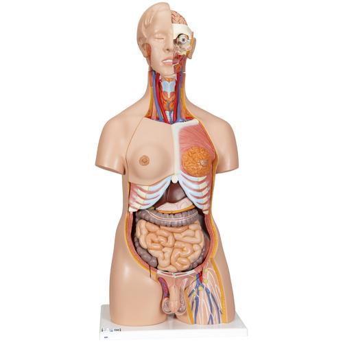 Human Torso Model   Life-Size Torso Model   Anatomical Teaching ...