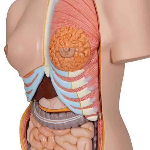 Human Torso Model | Life-Size Torso Model | Anatomical Teaching ...