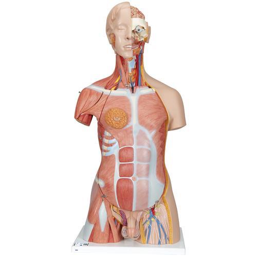 Terrific Human Torso Model Life Size Torso Model Anatomical Teaching Wiring Cloud Oideiuggs Outletorg