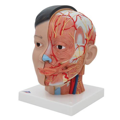 Asian Deluxe Head Model with Neck, 4 part - 3B Smart Anatomy, 1000215 [C06], Head Models