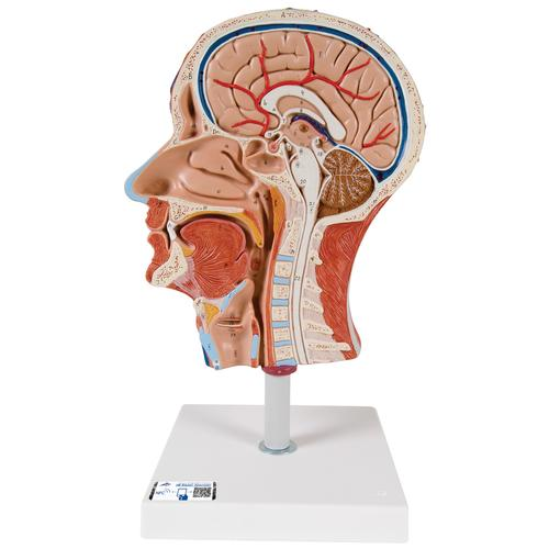 Half Head Model with Neck, Muscles, Blodd Vessels & Nerve Branches - 3B Smart Anatomy, 1000221 [C14], Head Models