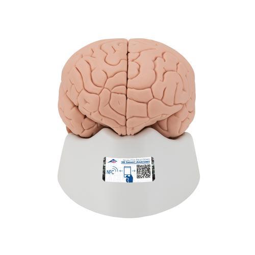 human brain model, 2 part 3b smart anatomy Brain Computer Interface Diagram