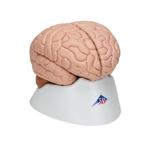 Human Brain Model, 8 part - 3B Smart Anatomy, 1000225 [C17], Brain Models