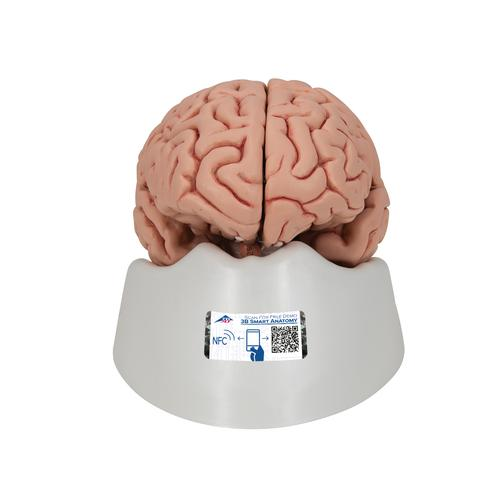 Classic Human Brain Model, 5 part - 3B Smart Anatomy, 1000226 [C18], Brain Models
