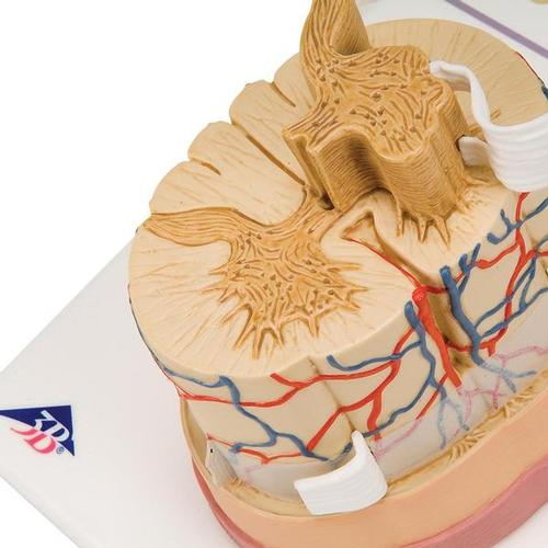 Human Spinal Cord Model, 5 times Life-Size - 3B Smart Anatomy, 1000238 [C41], Nervous System Models
