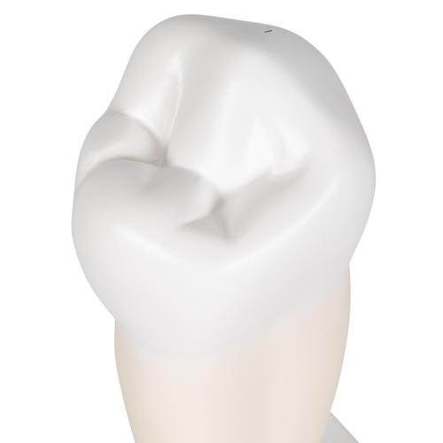 Lower Single-Root Pre-Molar Human Tooth Model - 3B Smart Anatomy, 1000242 [D10/3], Dental Models