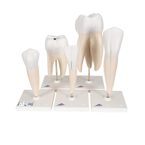 "Human Tooth Models Set ""Classic Series"", 5 Models  - 3B Smart Anatomy, 1017588 [D10], Dental Models"