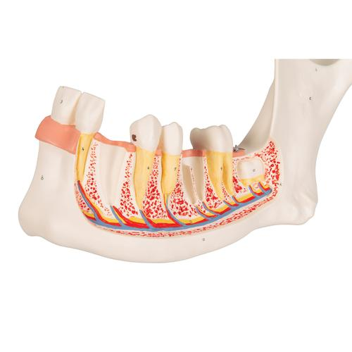 Half Lower Human Jaw Model, 3 times Full-Size, 6 part - 3B Smart Anatomy, 1000249 [D25], Dental Models