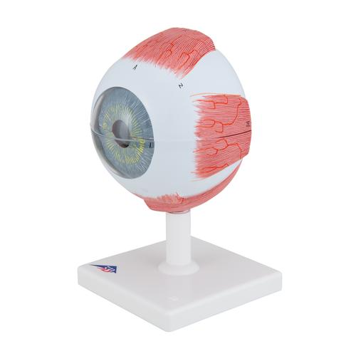 Human Eye Model, 5 times Full-Size, 6 part - 3B Smart Anatomy, 1000255 [F10], Eye Models