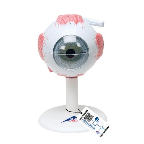 Human Eye Model, 3 times Full-Size, 6 part - 3B Smart Anatomy, 1000259 [F15], Eye Models