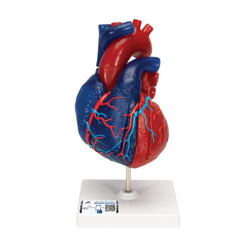 Life-Size Human Heart Model, 5 parts - 3B Smart Anatomy