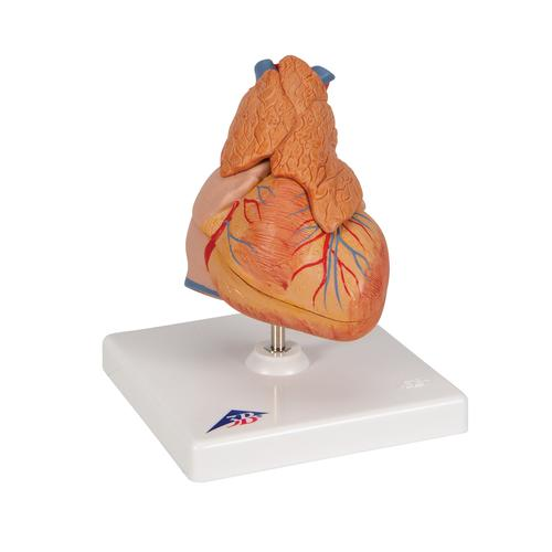 Classic Human Heart Model with Thymus, 3 part - 3B Smart Anatomy, 1000265 [G08/1], Human Heart Models