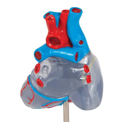 Classic Human Heart Model with Conducting System, 2 part - 3B Smart Anatomy, 1019311 [G08/3], Human Heart Models
